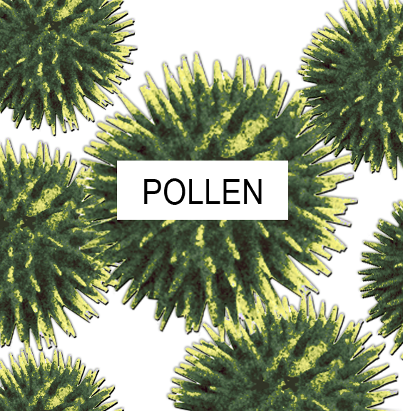 Pollen that causes alergic reactions.